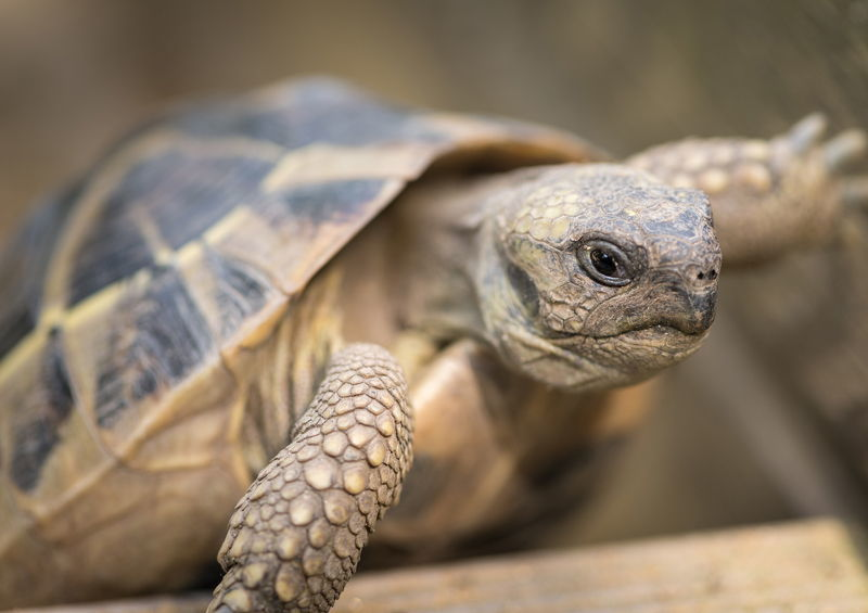 Graikinis vėžlys (Greek Tortoise)