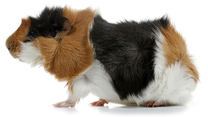 bigstock Crazy looking abysinian guinea pig pet r 45759076