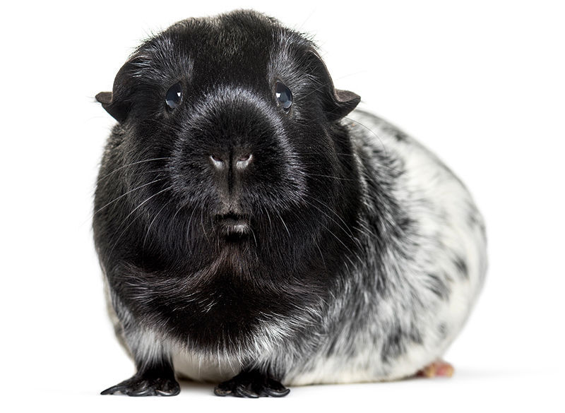 bigstock Dalmation Guinea pig against white backg 325914355