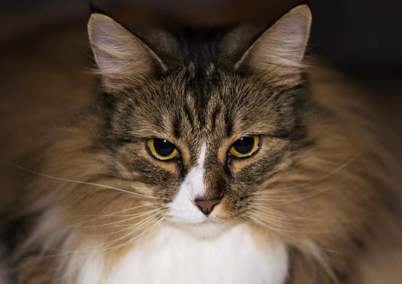 Norvegu miskine kate Norwegian Forest Cat