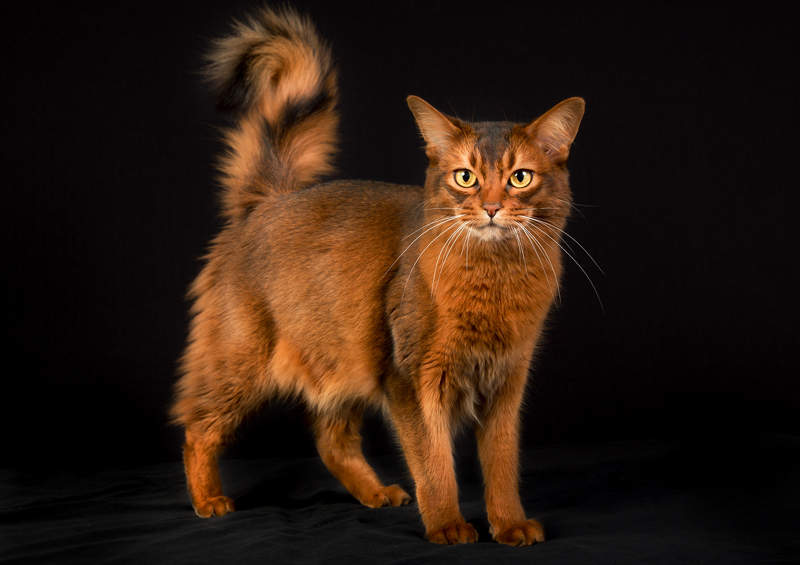 Somalio kate Somali cat