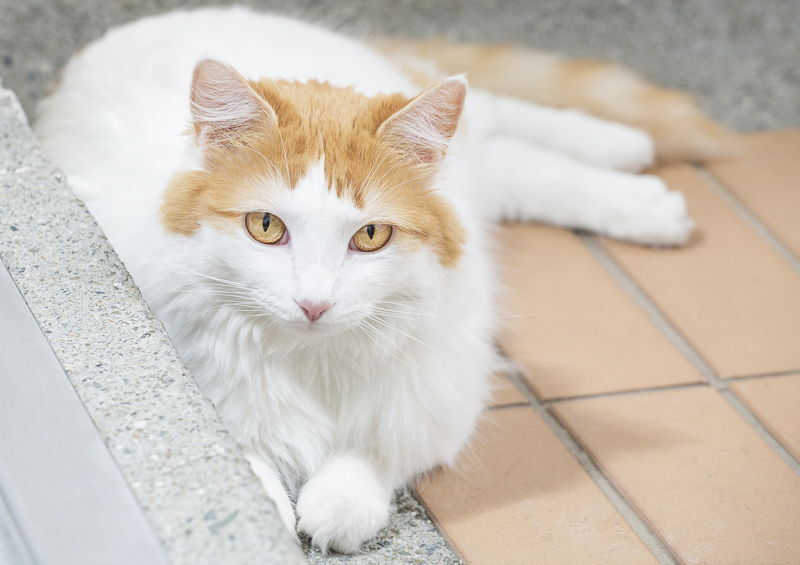 Turku van kates Turkish Van cat