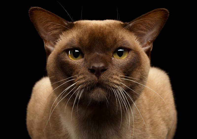 burmos kate Burmese cat