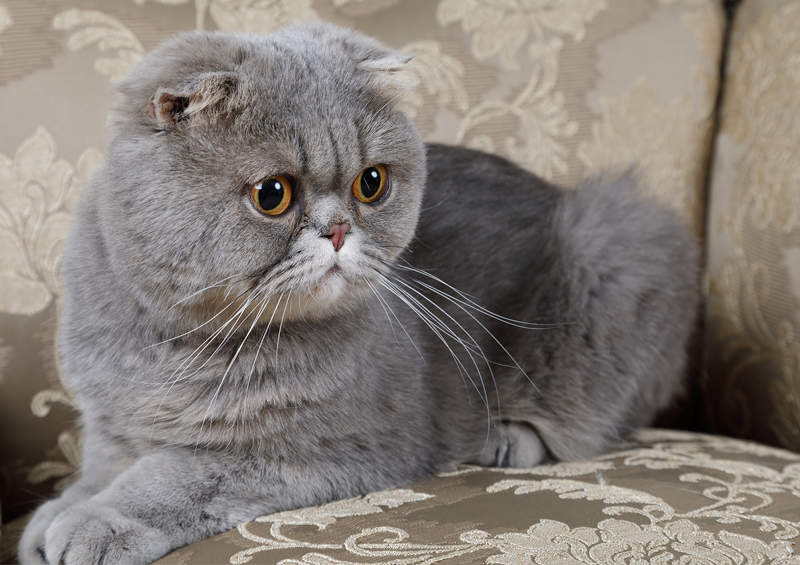 Škotų nulėpausis (Scottish Fold)