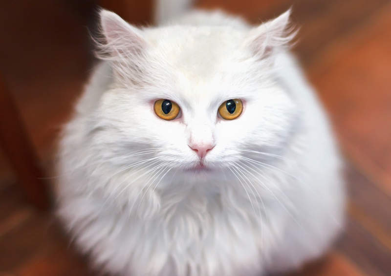 turku angora turkish angora