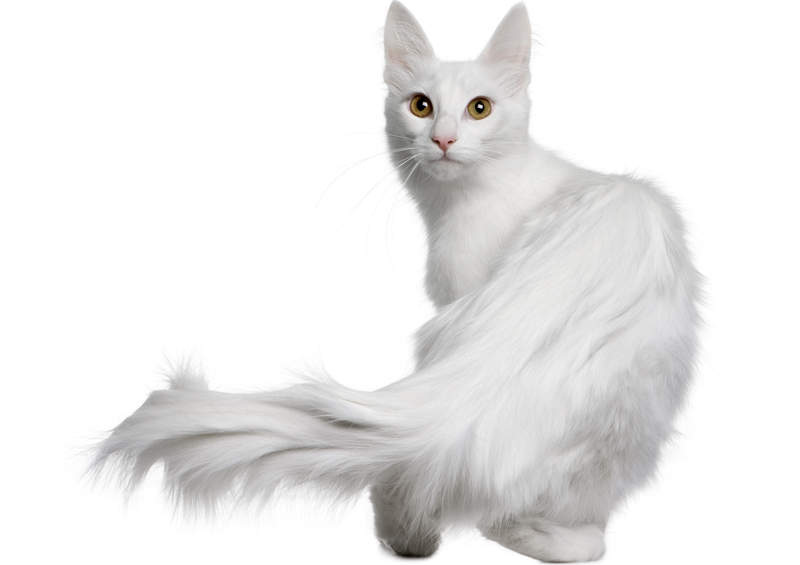 Turkų angora (Turkish Angora)