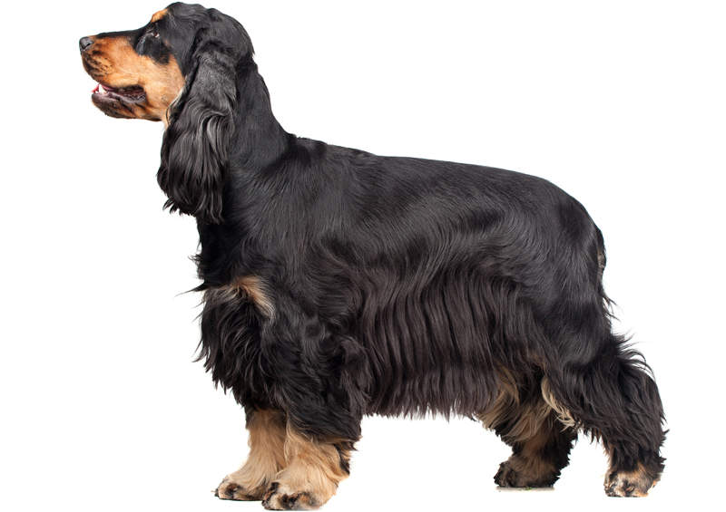 Anglų kokerspanielis (English Cocker Spaniel)