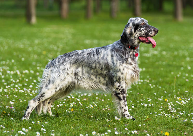 Anglų seteris (English Setter)