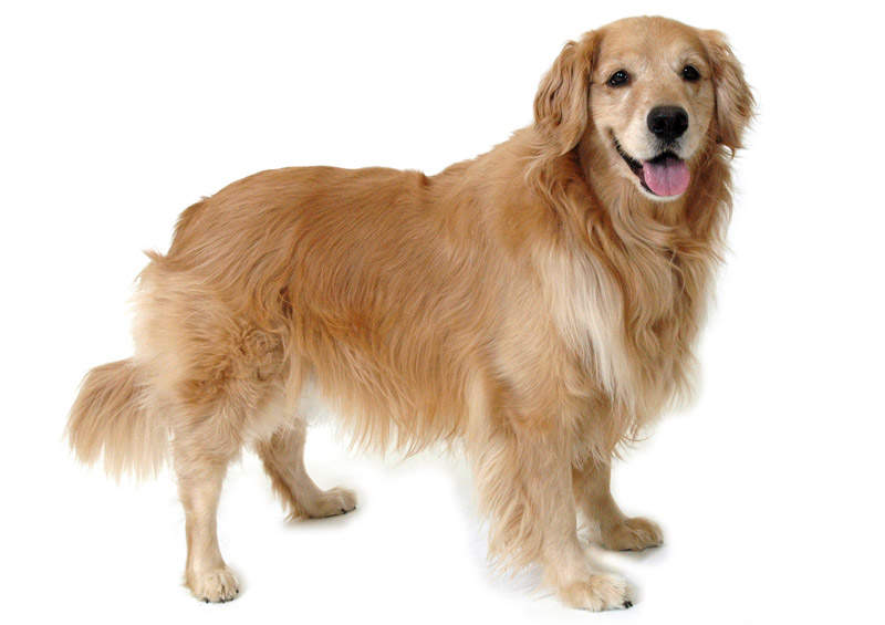 Auksaspalvis retriveris (Golden Retriever)