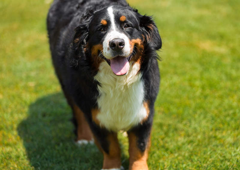 Berno Zenenhundas (Bernese Mountain Dog)