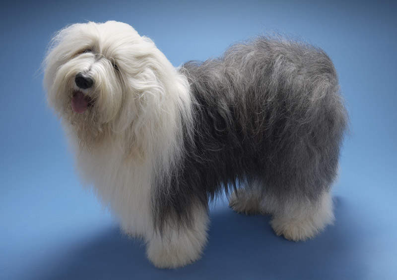 Bobteilas (Old English Sheepdog)