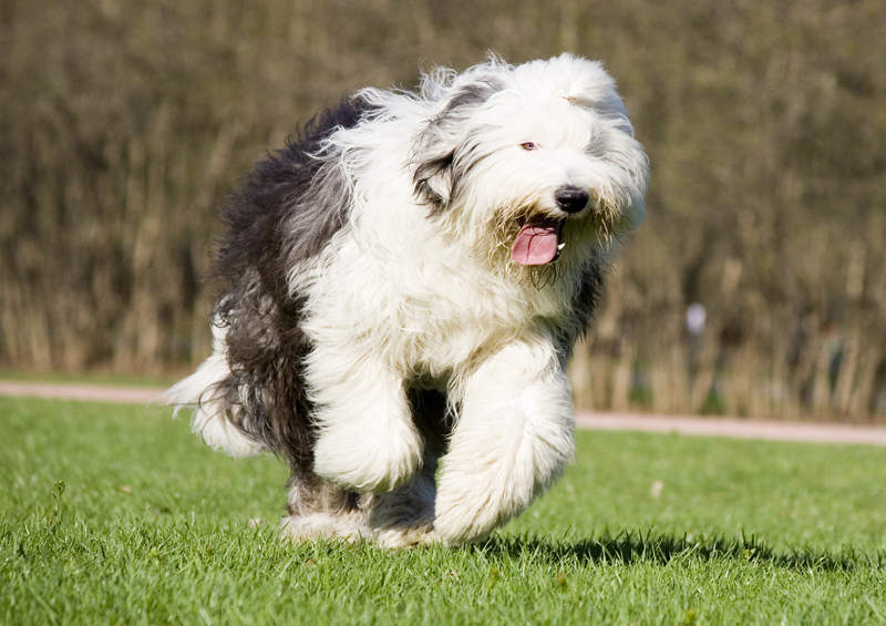 bobteilas Old English Sheepdog
