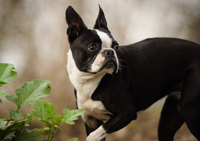 bostono terjeras boston terrier