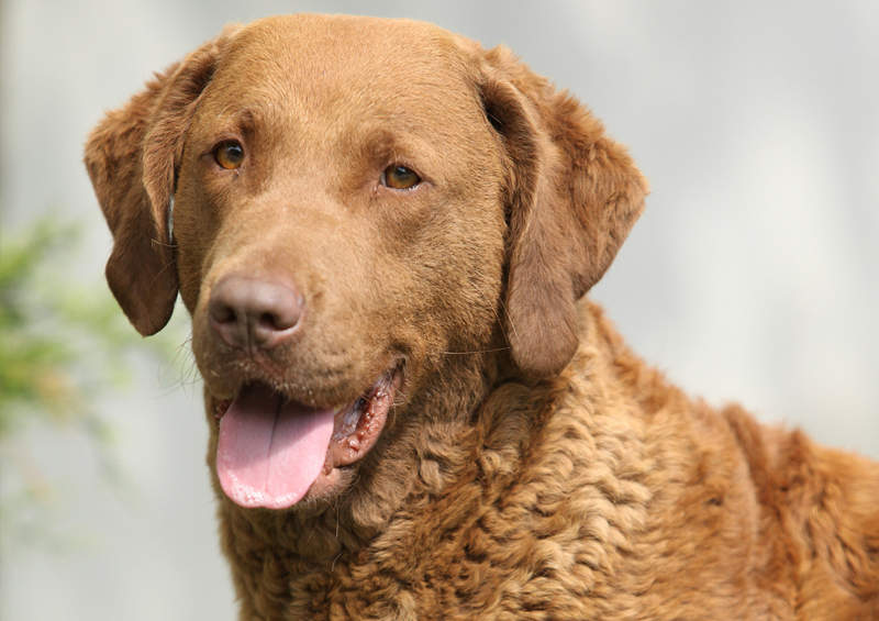 cesapyko ilankos retriveris Chesapeake Bay Retriever