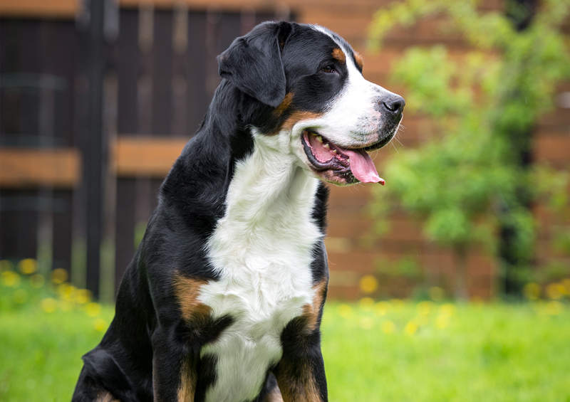 didysis sveicarų zenenhundas Greater Swiss Mountain Dog
