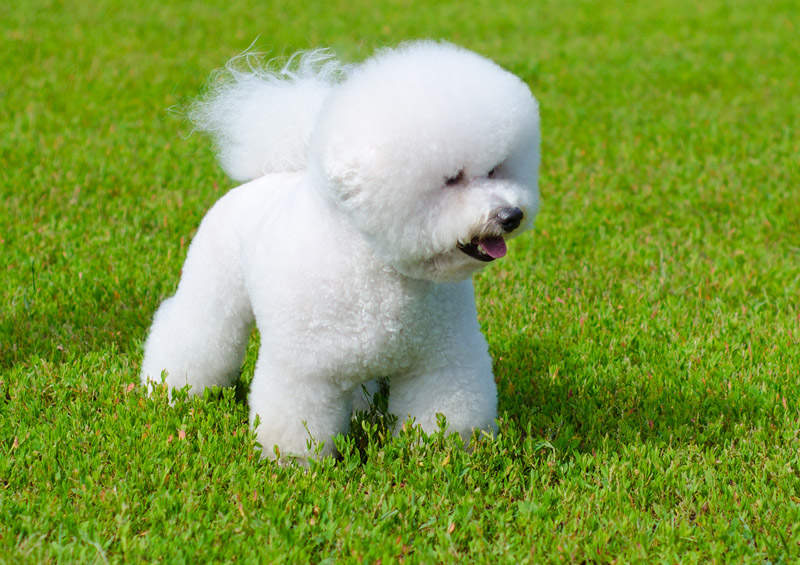 garbanotasis bisonas Bichon Frise
