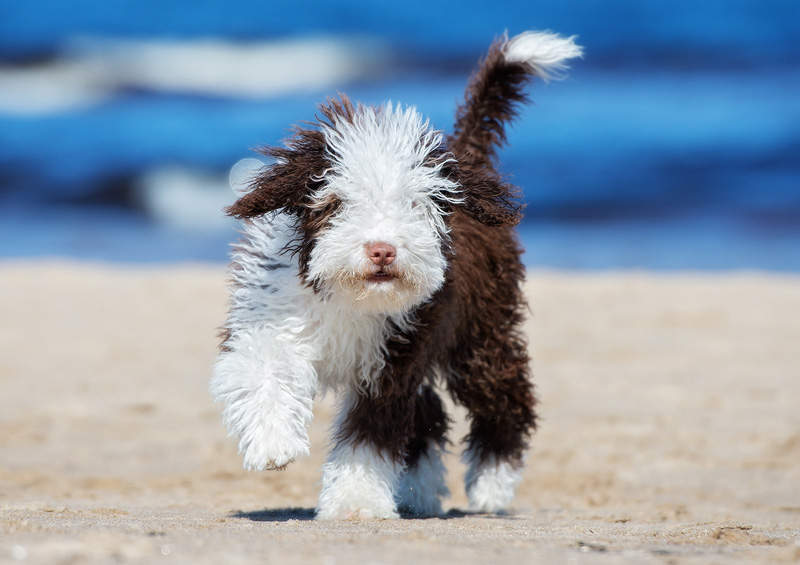 ispanu vandens suo Spanish Water Dog