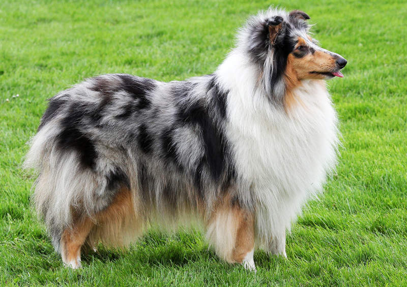 Ilgaplaukis kolis (Rough Collie)