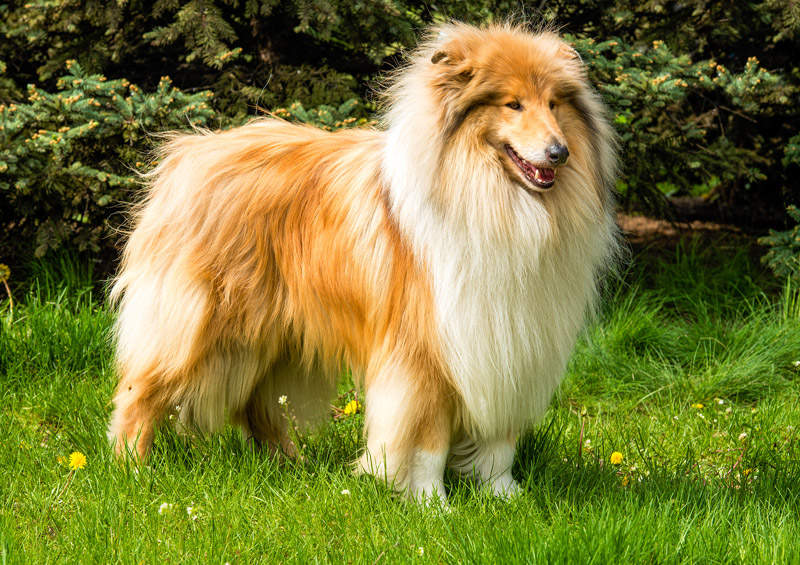Ilgaplaukis kolis Rough Collie