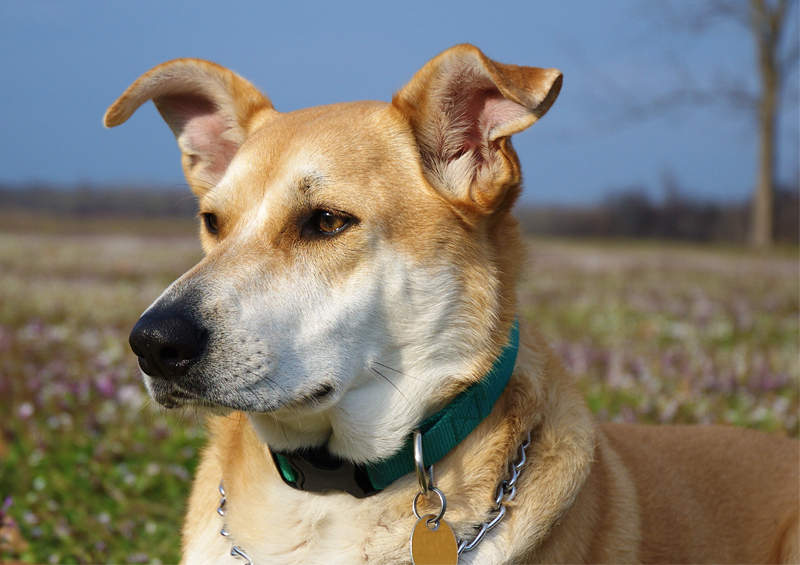 Karolinos šuo (Carolina dog)