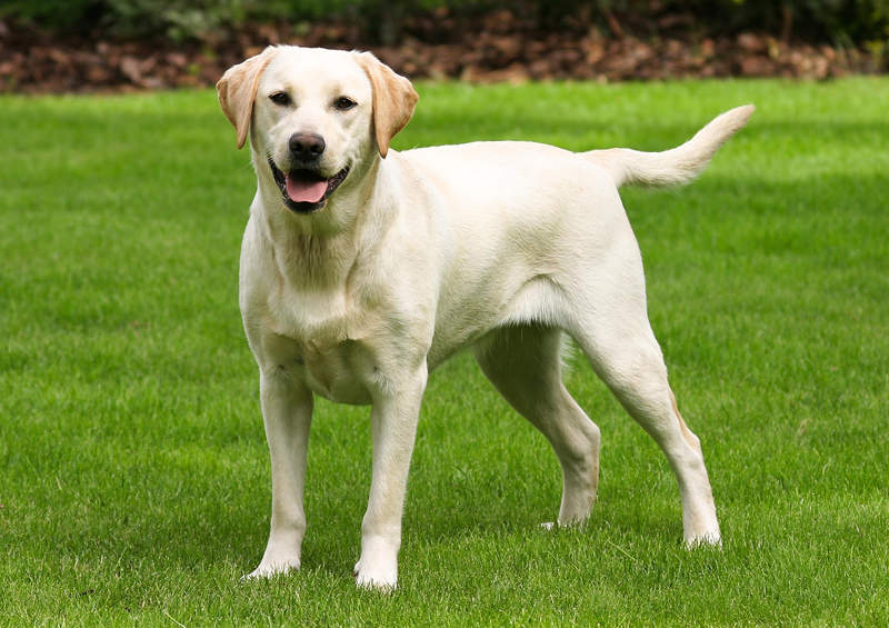 Labradoro retriveris (Labrador Retriever)