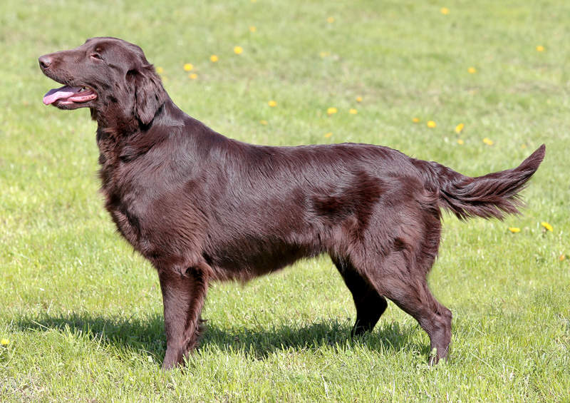 lygiaplaukis retriveris Flat Coated Retriever