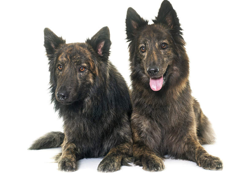 olandu aviganiai Dutch Shepherd Dog