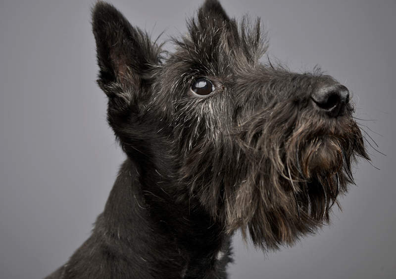 skotu terjeras Scottish Terrier