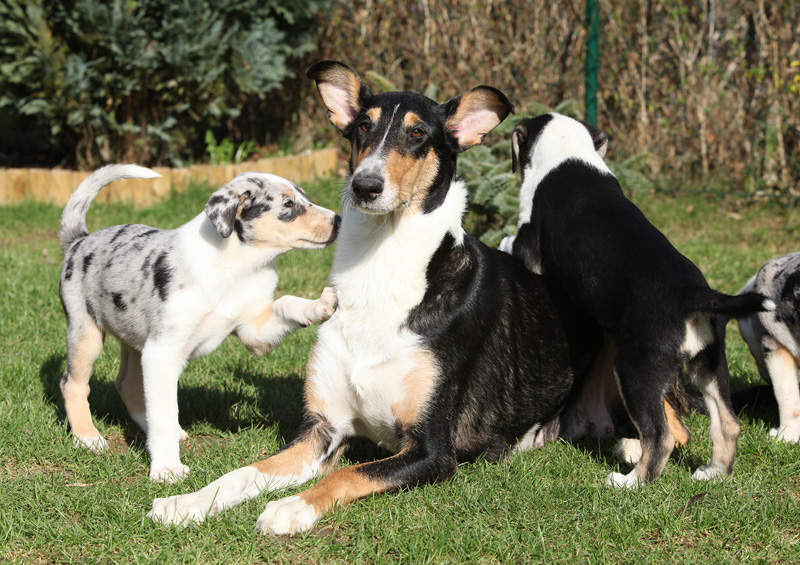 trumpaplaukis kolis Smooth Collie