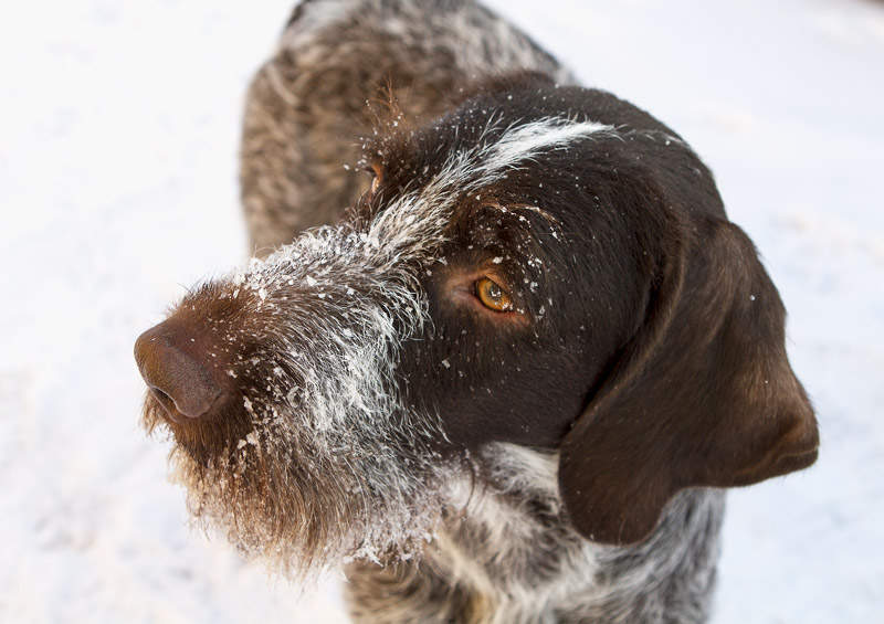 vokieciu dratharas German Wirehaired Pointer