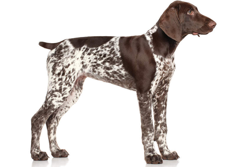 vokieciu kurtsharas German Shorthaired Pointer
