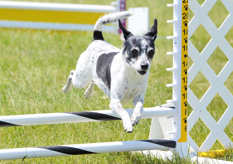 Žiurkinis terjeras (Rat Terrier)