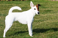Trumpaplaukis foksterjeras (Smooth Fox Terrier)