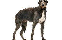 Dirhaundas (Scottish Deerhound)