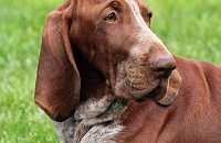 Italų pointeris (Bracco Italiano)