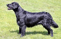 Lygiaplaukis retriveris (Flat-Coated Retriever)