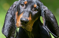 Juodas su įrūdžiu kunhoundas (Black and Tan Coonhound)