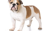 Anglų buldogas (English bulldog)