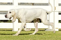 Porcelianinis skalikas (Porcelaine dog)