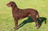 Garbanotasis retriveris (Curly Coated Retriever)