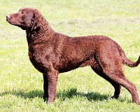Česapyko įlankos retriveris (Chesapeake Bay Retriever)
