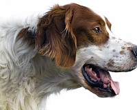 Airių rudai baltas seteris (Irish Red and White Setter)