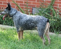 Australų trumpauodegis aviganis (Australian Stumpy Tail Cattle Dog)