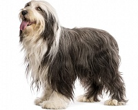 Barzdotasis kolis (Bearded Collie)