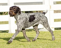 Vokiečių Dratharas (German Wirehaired Pointer)