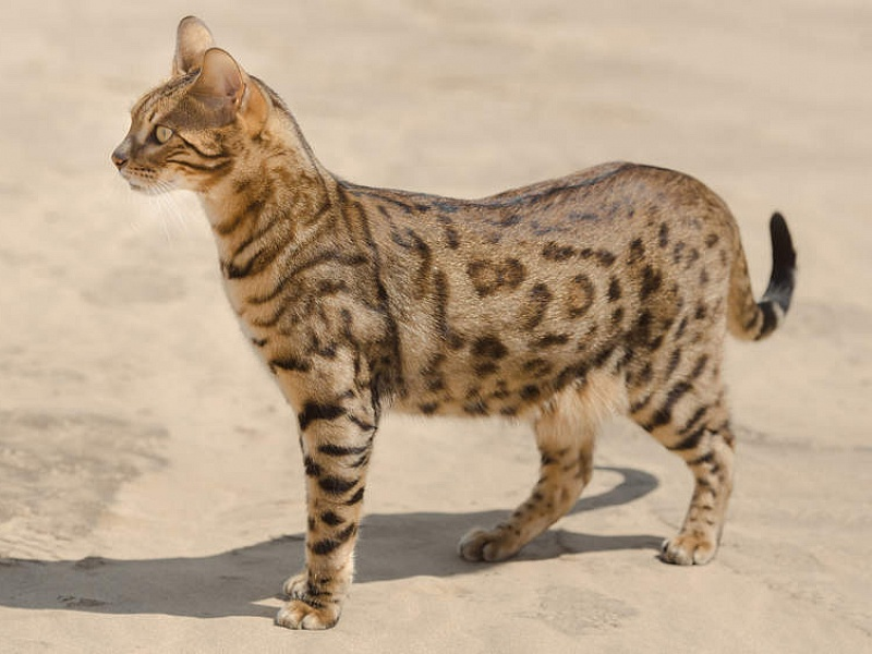 Savanos katė (Savannah cat)