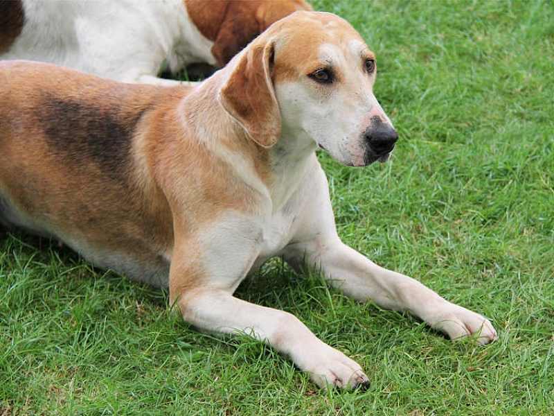Anglų Fokshaundas (English Foxhound)