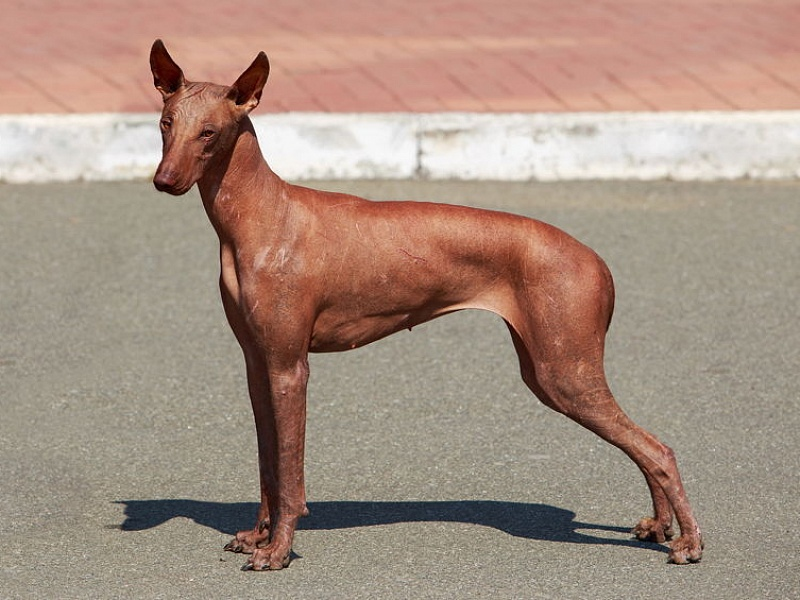 Peru plikasis šuo  (Peruvian Hairless Dog)