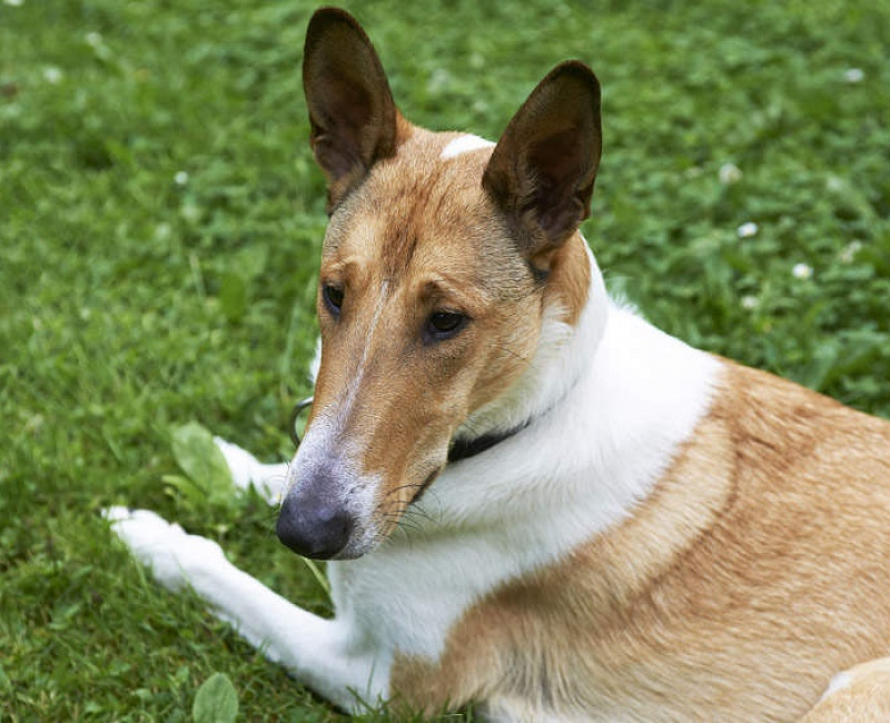 Trumpaplaukis kolis (Smooth Collie)
