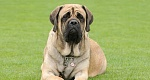 Anglų mastifas (English Mastiff)